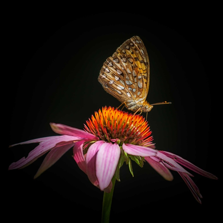 Fritillary on Echanacea