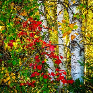 Birch Bark and Maple Leaves
